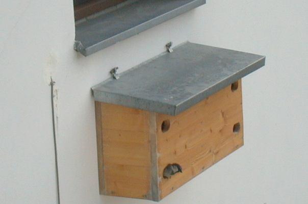mauersegler apus apus erfahrungen ansiedlung mauerseglerfotos klaus roggel berlin seite 1. Black Bedroom Furniture Sets. Home Design Ideas